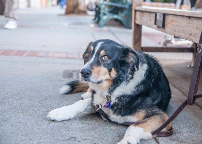 Dog in Los Gatos 700x500 - Photos of Los Gatos