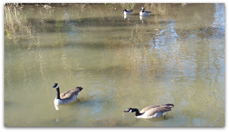 Canadian Geese are often found at Lake Vasona - in fact, a little too much.  They appear to have stopped migrating and seem to want to be here year-round now.
